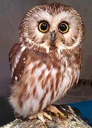 Sawyer the Northern Saw-whet Owl