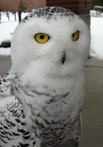 Tundra the snowy owl