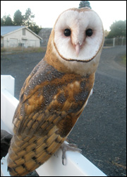 Widget the barn owl