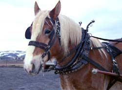 Laddie the draft horse