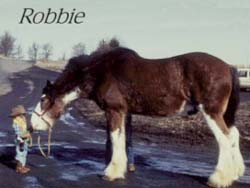 Robbie the draft horse
