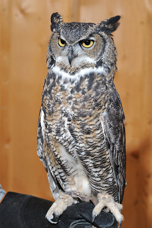 Full body picture of Sprite the Great Horned Owl