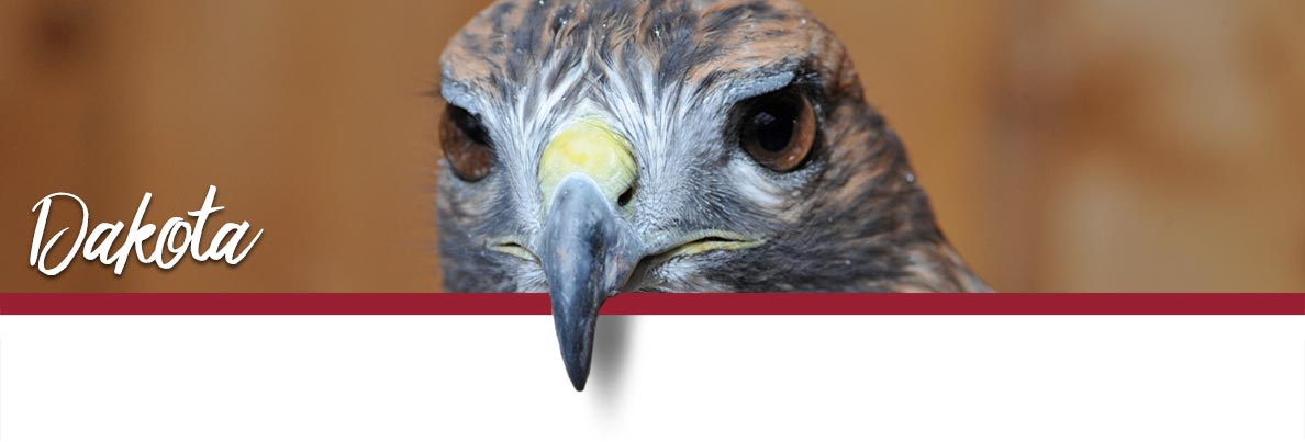 WSU Raptor Club page banner showing Dakota the Red-tailed Hawk