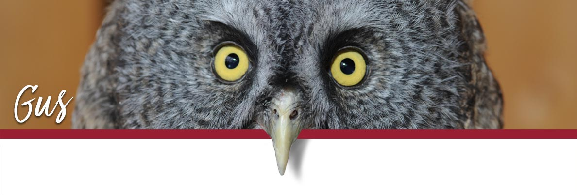 WSU Raptor Club page banner showing Gus the Great Grey Owl
