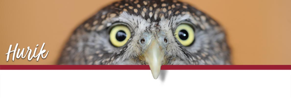 WSU Raptor Club page banner showing Hurik the Northern Pygmy Owl