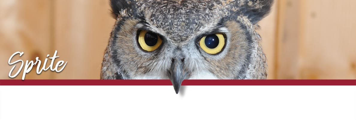WSU Raptor Club page banner showing Sprite the Great-horned Owl