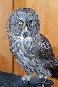 Gus the Grey Owl