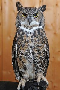 Sprite the Great Horned Owl