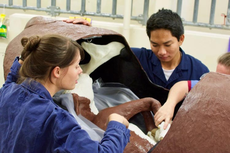 Students examine calf orientation inside life-size cow model