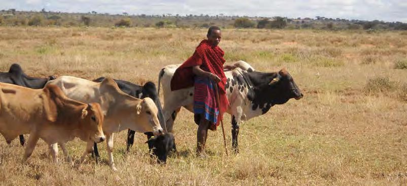 A Maasai man herds grazing cattle