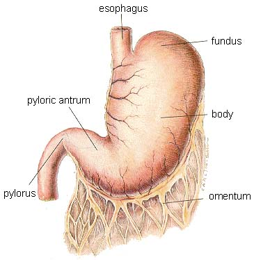 Digestive System of the Dog