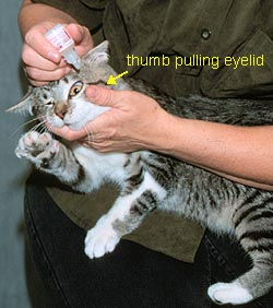examining and medicating the eyes of your cat Black and White Eye Anatomy Diagram