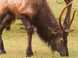 Infected Washington Elk