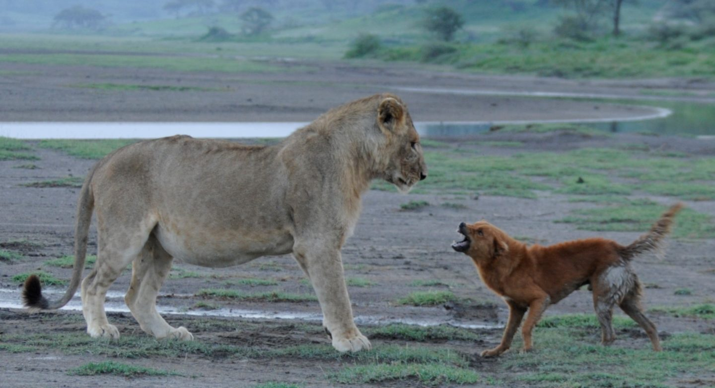 Lion-attacked-by-dog_20150104_Small-marsh-3-1440x783